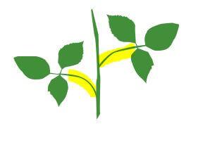 herbe à puce - tige tp